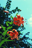 Pomarańczowe tygrysie leluje na tle gałąź i turkusowy niebo Zdjęcie Royalty Free