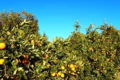 Pomarańczowego drzewa krajobraz Floryda fotografia stock
