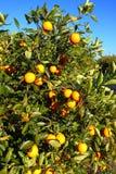 Pomarańczowego drzewa krajobraz Floryda Obraz Royalty Free