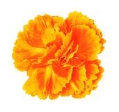 Pomarańczowego koloru żółtego goździka kwiat odizolowywający na białym tle Zakończenie bell świątecznej element projektu Zdjęcie Stock