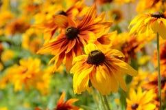 Pomarańczowego koloru żółtego i czerwieni kwiaty Zdjęcia Stock