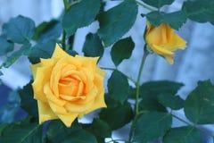 Pomarańczowego koloru żółtego róża Zdjęcie Stock