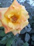 Pomarańczowego koloru żółtego róża Obrazy Royalty Free