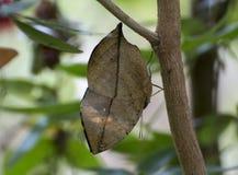 Pomarańczowego oakleaf mimetic motyl obraz stock