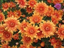 Pomarańczowej chryzantemy Naturalny tło fotografia stock