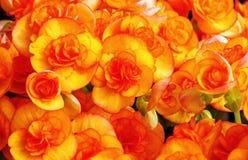 Pomarańczowej czerwieni begonie Fotografia Stock