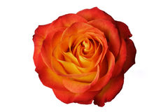 pomarańczowej czerwona róża Fotografia Stock