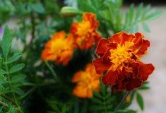 Pomarańczowi & Żółci nagietki Fotografia Royalty Free