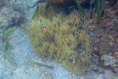 Pomarańczowi biali clownfish w rafie koralowej, podwodna fotografia Nemo ryba w anemonie Tropikalny seashore snorkeling lub nurku zdjęcia stock