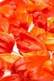 Pomarańczowi Chińscy lampiony & x28; Physalis& x29; Zdjęcie Royalty Free