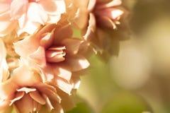 Pomarańczowi delikatni kwiaty tło są bokeh Kwiat Kalanch Obraz Royalty Free