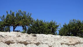 Pomarańczowi drzewa panning strzał zbiory wideo