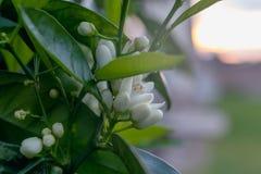 Pomarańczowi drzewa w kwiacie, kwiaty na pomarańczowej gałąź, zmierzch obrazy royalty free