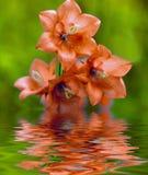 Pomarańczowi dzwoneczniki Fotografia Stock
