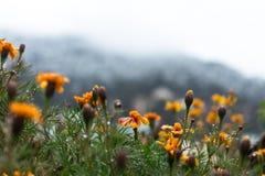 Pomarańczowi góra kwiaty obraz royalty free