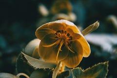 Pomarańczowi i żółci helleborus viridis kwitną w naturze fotografia stock