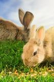 Pomarańczowi i brown króliki je kukurudzy w zielonej trawie Obraz Royalty Free