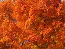 Pomarańczowi Jesienni drzewo liście w W połowie Listopadzie obraz royalty free