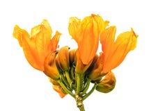 Pomarańczowi kwiaty Pożarniczego Bell drzewo Obrazy Royalty Free