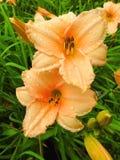 Pomarańczowi leluja kwiaty zdjęcia royalty free