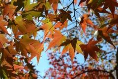 Pomarańczowi liście klonowi i niebieskie niebo w jesieni Zdjęcia Royalty Free