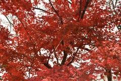 Pomarańczowi liście klonowi na klonowych drzewach Zdjęcie Stock