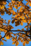 Pomarańczowi liście wieszają na gałąź drzewo w jesieni Obrazy Stock