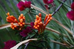 Pomarańczowi okwitnięcia Ruttya Zdjęcia Royalty Free