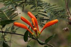 Pomarańczowi okwitnięcia Ruttya Obrazy Royalty Free