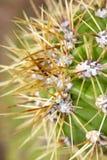 Pomarańczowi ostrzy kaktusowi prickles zdjęcie stock
