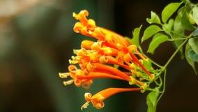 Pomarańczowi tubowi kwiaty zdjęcie wideo