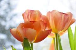 Pomarańczowi tulipany, śnieg przy tłem fotografia stock