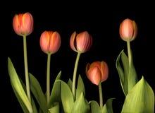 pomarańczowi tulipany obraz stock