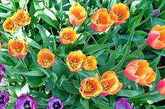 Pomarańczowi tulipany w kwiatu łóżku Fotografia Stock