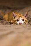 Pomarańczowy śliczny kot Zdjęcia Royalty Free