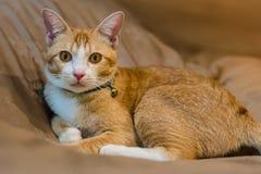 Pomarańczowy śliczny kot Fotografia Royalty Free