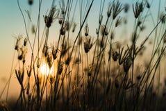 Pomarańczowy światło słońce ustawia przez trawy Obraz Royalty Free