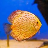 Pomarańczowy akwarium ryba dysk na błękitnym tle Obrazy Stock