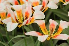 Pomarańczowy biały tulipanowy zbliżenie Zdjęcia Royalty Free