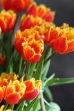 Pomarańczowy biały tulipanowy zbliżenie Fotografia Stock