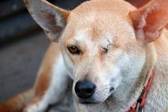 Pomarańczowy brown kolor pies, jeden eyeless i szy zakończenie Kłaść w dół na betonowej podłoga w ranku zdjęcia stock