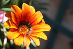 Pomarańczowy calendula kwiatu zakończenie Fotografia Stock