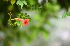 Pomarańczowy Chiński tubowego pełzacza kwiat Zdjęcie Royalty Free