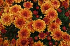 Pomarańczowy chryzantema kwiatu łóżko. Fotografia Royalty Free