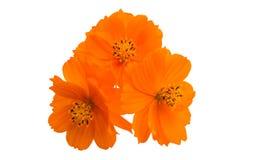 pomarańczowy cosme odizolowywający fotografia stock