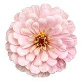 Pomarańczowy cynia kwiat zdjęcia royalty free