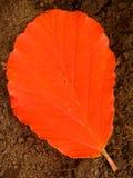 Pomarańczowy Czarownicy Leszczyny Liść Obrazy Stock