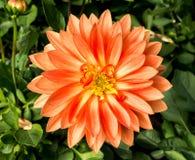 Pomarańczowy dalia kwiatu okwitnięcie na zielonym ulistnieniu Fotografia Stock