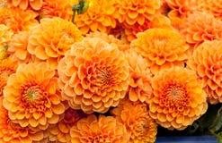 Pomarańczowy dalia kwiatu tło Fotografia Royalty Free