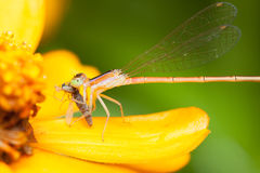 Pomarańczowy damselfly łasowania zdobycz na żółtym kwiacie Zdjęcie Royalty Free